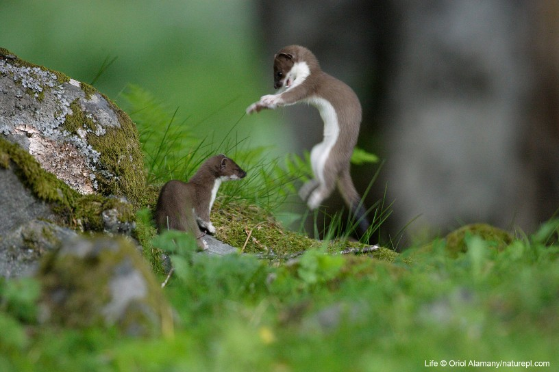 Stoat/ermine two juveniles playing, Aran valley, Pyrenees, Spain.