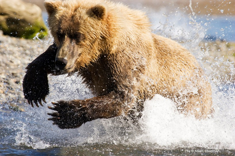 Coastal grizzly bear fishing for salmon in water, Katmai National Park and Preserve, Alaska.