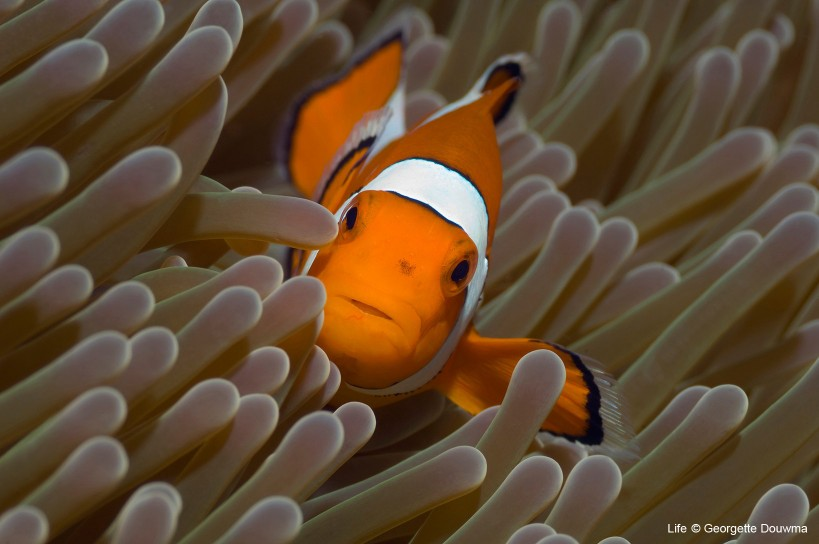 Clown anemone-fish in anemone, Indonesia.
