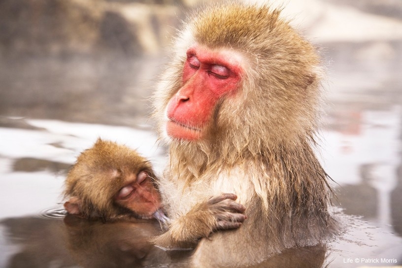 Female Japanese macaque with baby taking refuge from cold weather in hot spa, Japan.