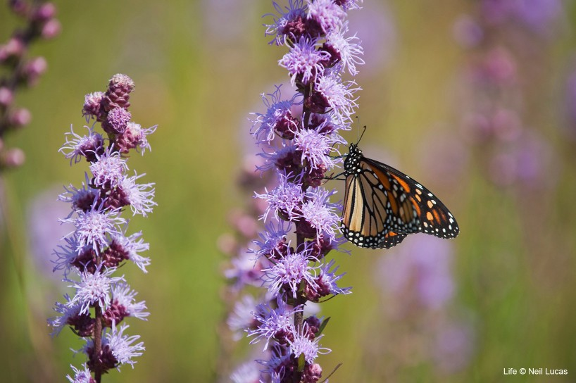 Monarch butterfly on flowering grass of the Prairies, Minnesota, USA.