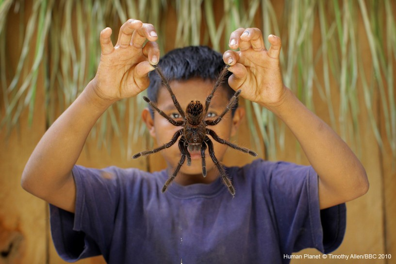 Puerto Aya Cucho, Venezuela. Orlando holds up one of the goliath tarantulas he has collected to eat.
