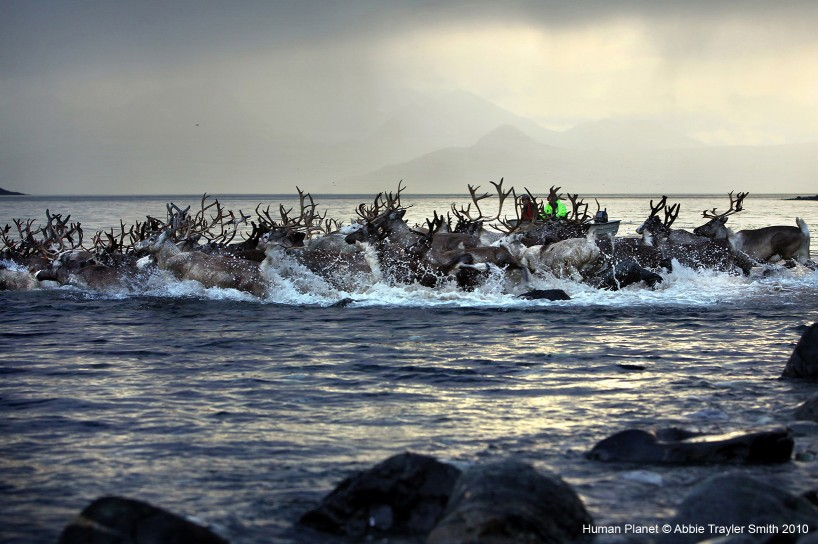 Arnoy Island, Norway. In summer, the Sami guide reindeer and their young across a treacherous stretch of open water.