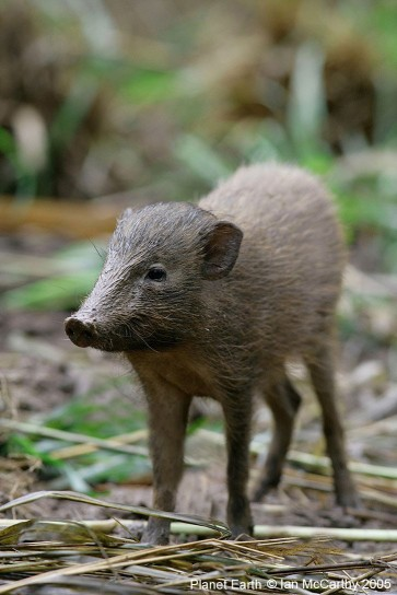 Pygmy hog, Manas National Park, Assam, India.