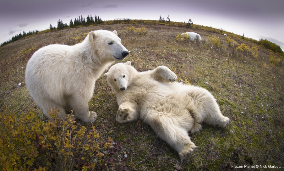Young polar bears relaxing on the ground in Hudson Bay, Canada. Frozen Planet captured a surprisingly playful and sociable side of polar bears.