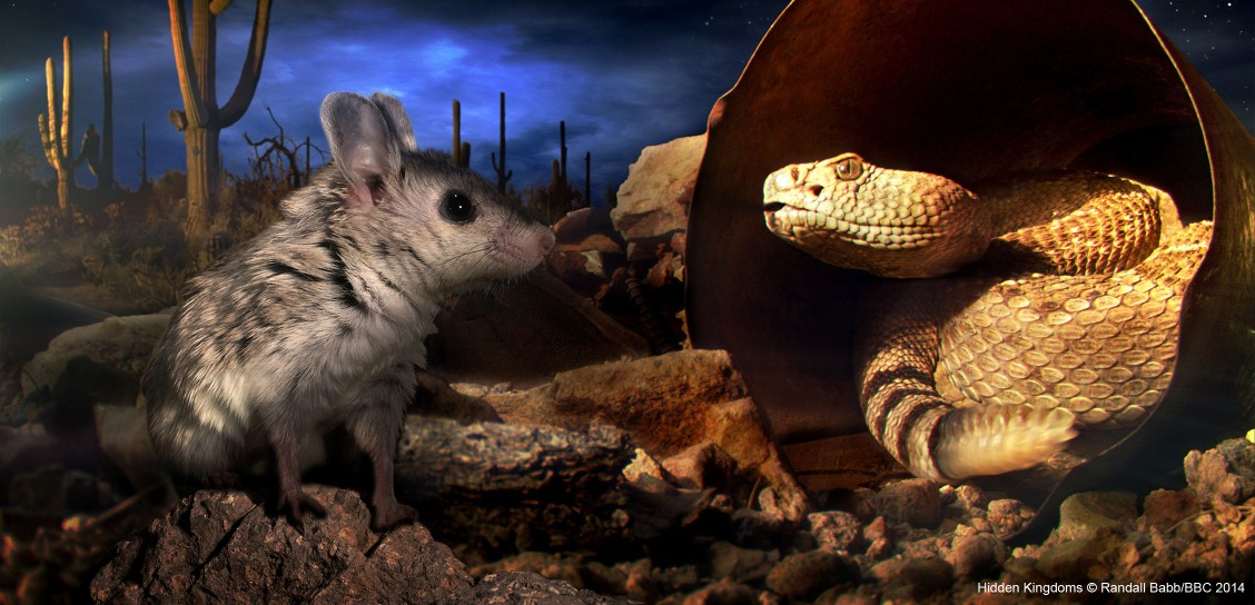 A grasshopper mouse confronts a diamondback rattlesnake in Arizona's Sonoran desert (composite image).