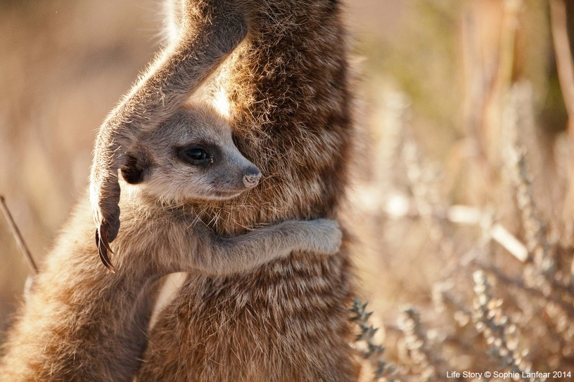 A meerkat (Suricata suricatta) pup clings to an adult in the Kalahari, South Africa. Pups are vulnerable to all sorts of dangers, so rely on adults for safety and guidance.