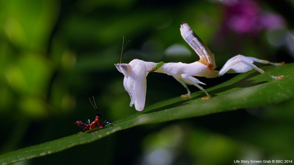 A young orchid mantis (Hymenopus coronatus) stares up at a nearly full-grown orchid mantis. This is a dangerous position for the youngster, as the cannibalistic adult is not picky about its next meal.