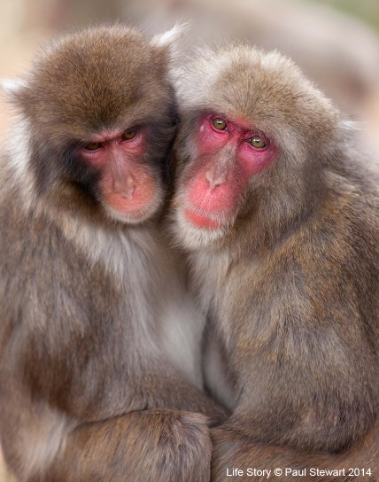 A female Japanese macaque (Macaca fuscata) enjoys the security and standing of an elder male partner. But as soon as his back is turned, she will be on the lookout for a younger toy boy!