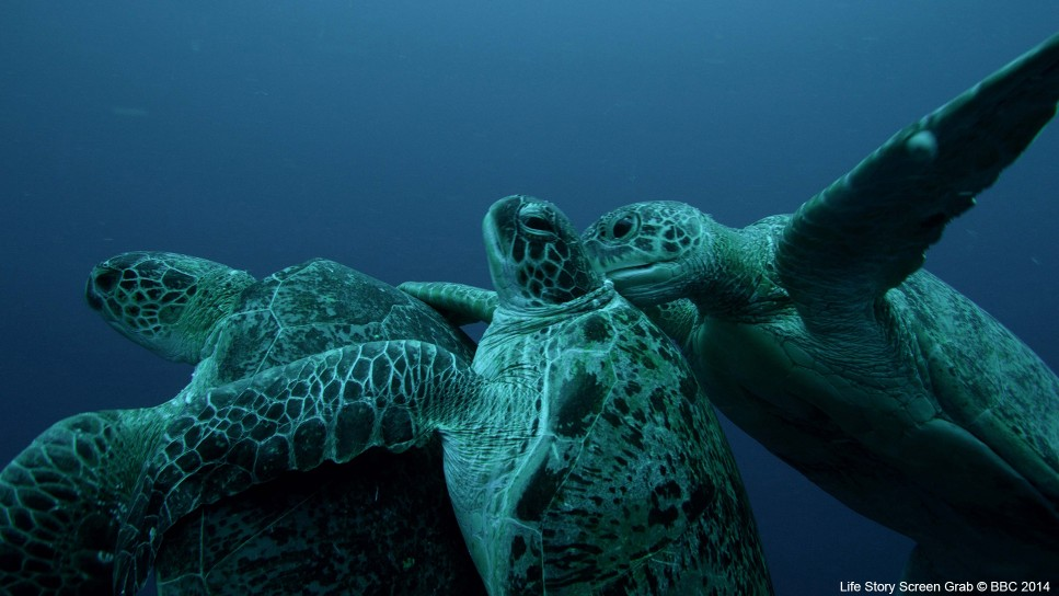 Mating green turtles (Chelonia mydas) are interrupted by a second male trying to separate them; with the added weight the pair risk drowning. This commotion attracts the attention of further males who descend on the pair.