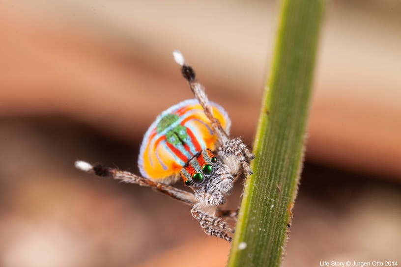 The extraordinary colours and leg-waving courtship dance of the male peacock jumping spider (Maratus volans) are intended to seduce a mate. But the female of the species is a dangerous animal to approach so brazenly.