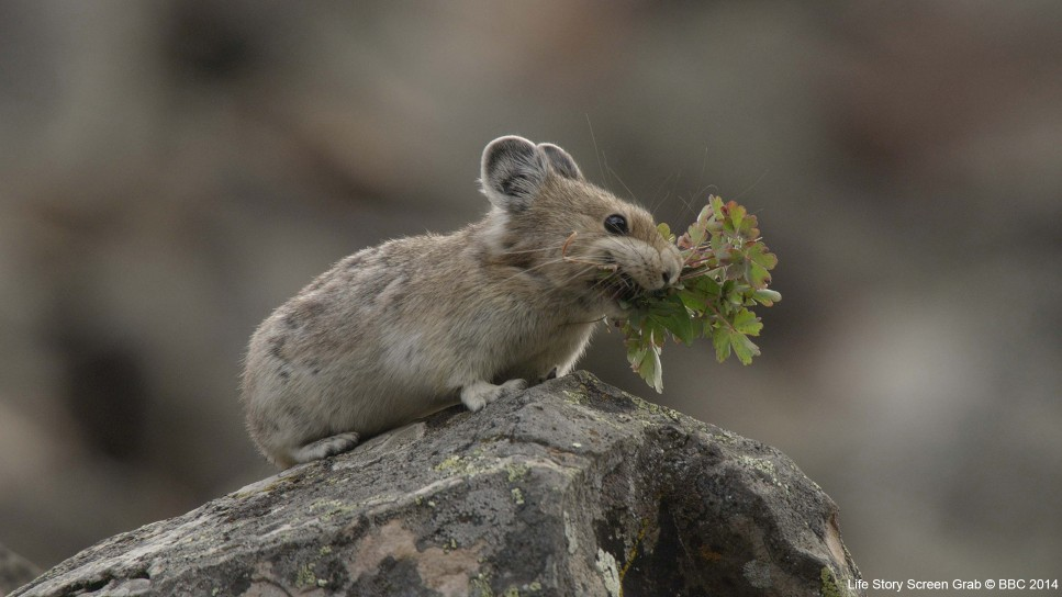 An American pika (Ochotona princeps) collects plant matter to build up a store of food that will help it last the cold alpine winter in Canada.