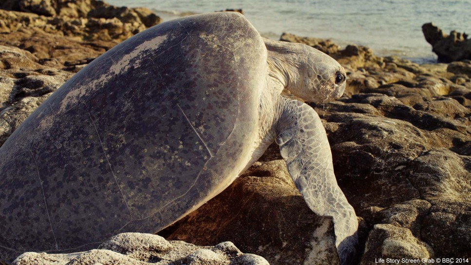 A female green turtle (Chelonia mydas) struggles to negotiate rocks exposed by the retreating tide on Raine Island, Australia. This hazard, combined with searing temperatures, presents a great danger to the turtles.