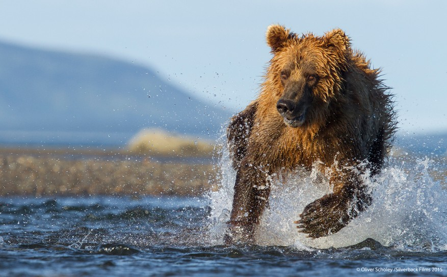 A brown bear hunting for salmon in Alaska's Katmai National Park. These bears get nearly 90% of their annual energy requirements during the few weeks of the salmon run.