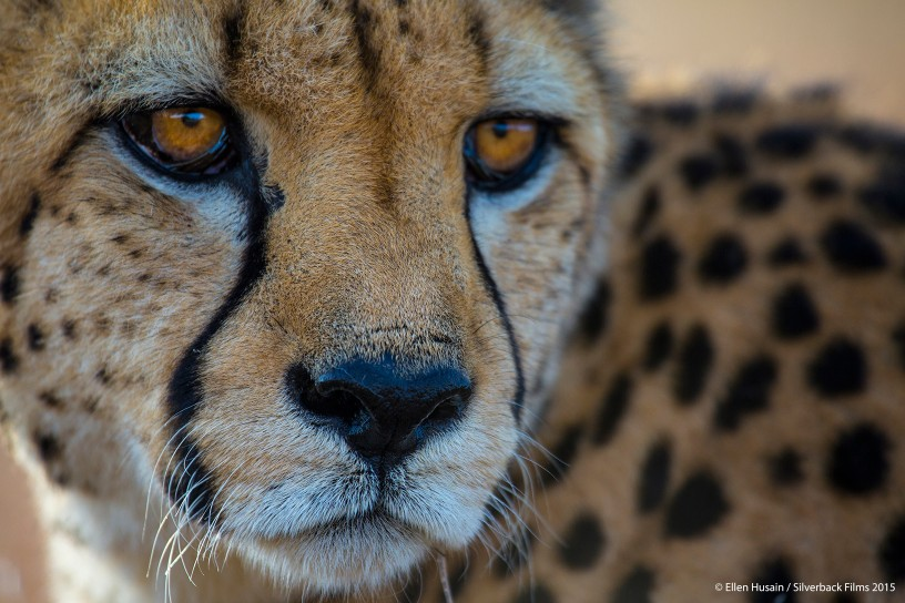 For a cheetah, a successful hunt is all about picking the right target.