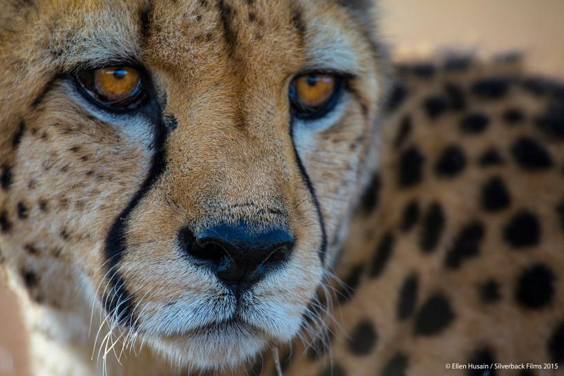 Gepard ma niesamowity wzrok za dnia, jest w stanie wypatrzyć ofiarę z odległości 5 km.