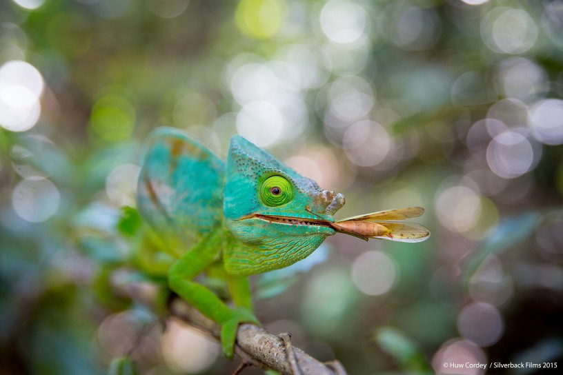 A male Parson's chameleon with insect prey in tropical forest, Andasibe, Madagascar. Chameleons catch their prey with their long sticky tongues, which they can shoot out at 20km/h.