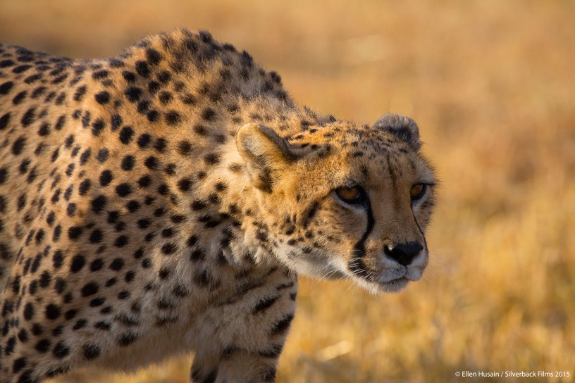 A cheetah must stalk undetected within just 30m of its prey before it starts its sprint.