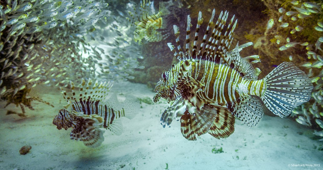 The lionfish uses its flamboyant patterns and fins to disguise fine movements from its prey as it edges ever closer, ready to strike.