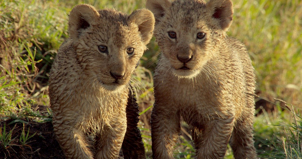 Once the rains arrival young animals such as these cute Lion cubs (Panthera leo) of the savanna plains can relax and have fun - food will soon be plentiful, the landscape lush and its time to celebrate!