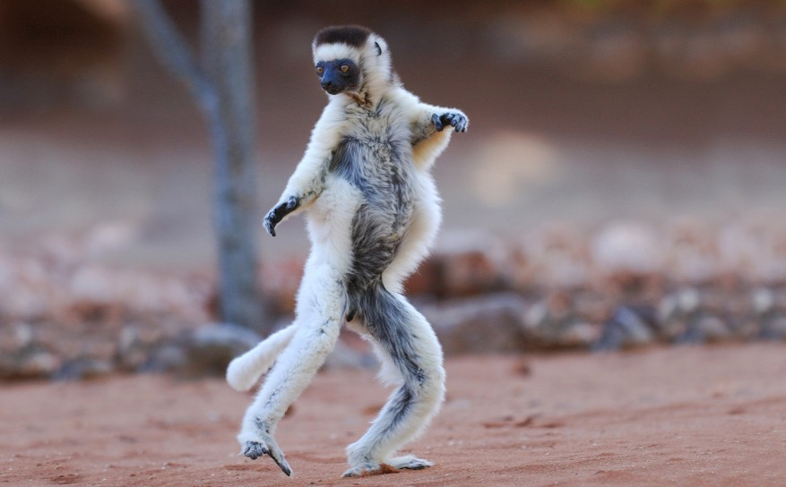 Verreaux's Sifaka (propithecus verreauxi) dancing in the Berenty Nature Reserve, southern Madagascar. 
