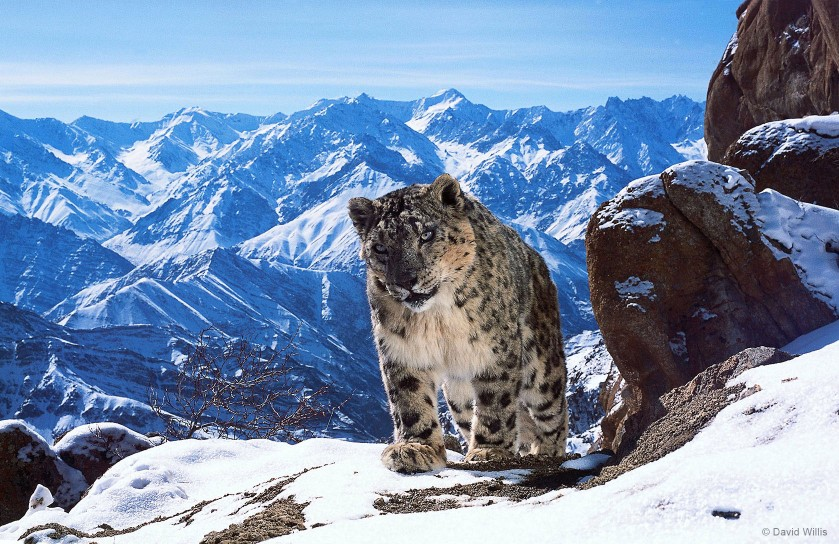 There may be as few as 3,500 snow leopards left in the wild. They are famously illusive and difficult to film and have become increasingly threatened by climate change and human disturbance.