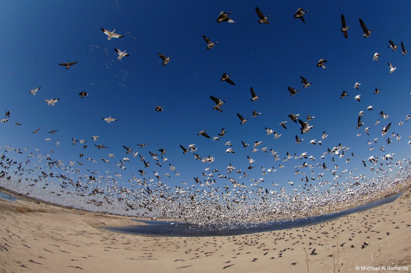 Snow geese flock flying over Nebraska, USA