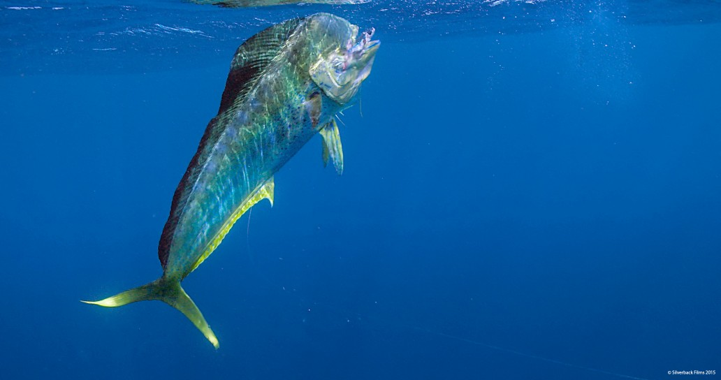 Dorado, or mahi-mahi, a one of the fastest and most voracious open ocean predators. This dorado is just about to catch a flying fish, one that hasn't quite made it to the safety of the surface in time.