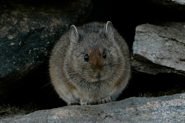 The large-eared pika of the Himalayas is one of the highest living mammals © BBC NHU 2016