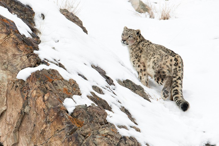 The snow leopard, known as 'Ghosts of the Mountains' © BBC NHU 2016