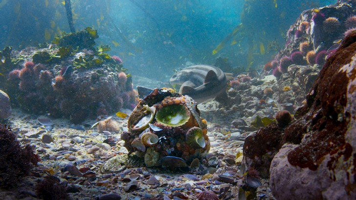 An octopus forms a ball and surrounds itself with a protective armour of shells (Credit: BBC 2017)