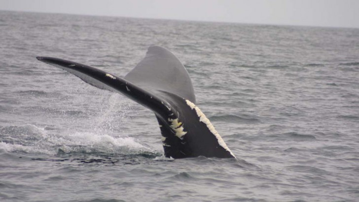 Right whale (*Eubalaena glacialis*) (Credit: NEFSC/NOAA)