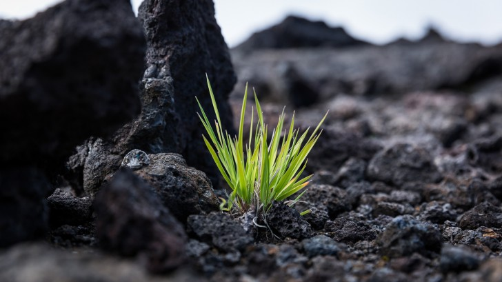 Plants take hold on young volcanic rock.
