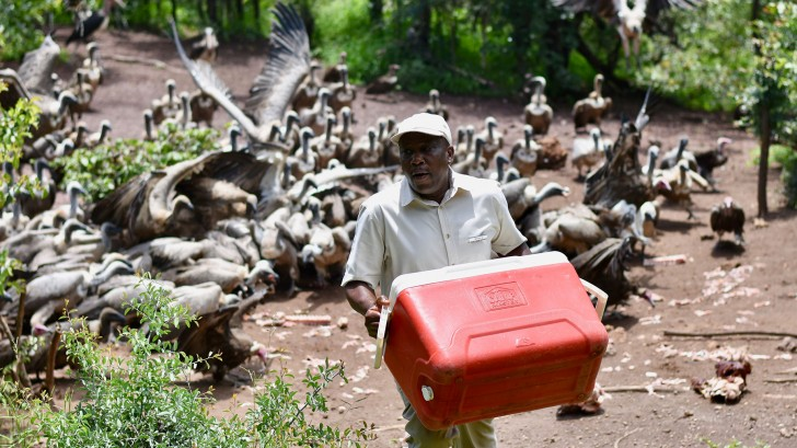 'Lunch' is served by Wildlife Supervisor Moses Garira who sees himself as something of a vulture daddy-figure © Harriet Constable