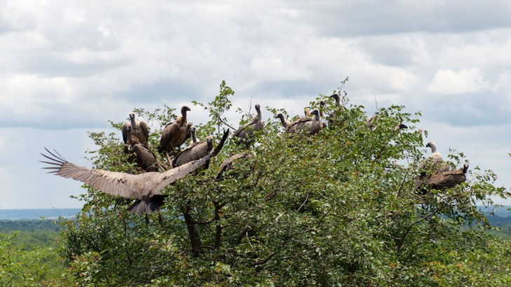By attracting the birds to the Vulture Restaurant the team can ensure they're regularly getting a safe meal © Lindsay Constable