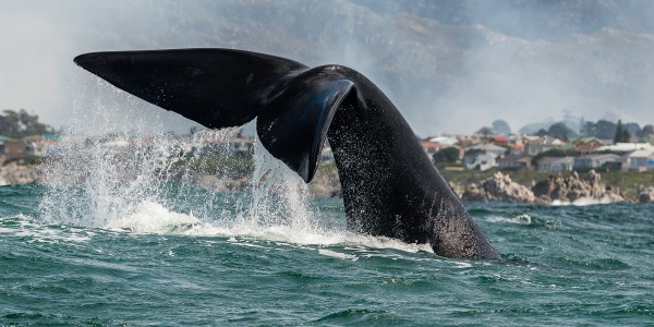 how do whales have sex