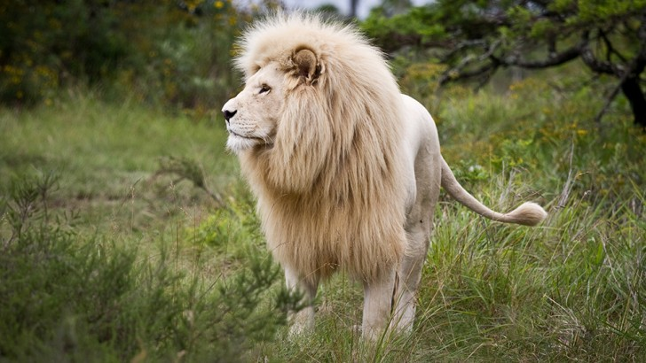 White lions have blue eyes © Marie-Ange Ostré/Getty