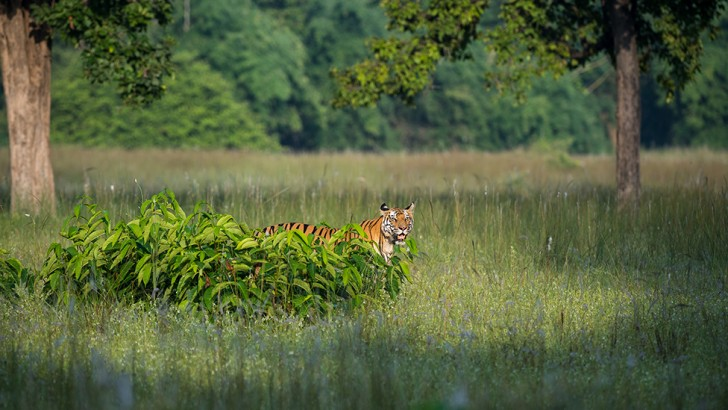 Raj Bhera patrolling a meadow on the lookout for prey © Theo Webb/NHU