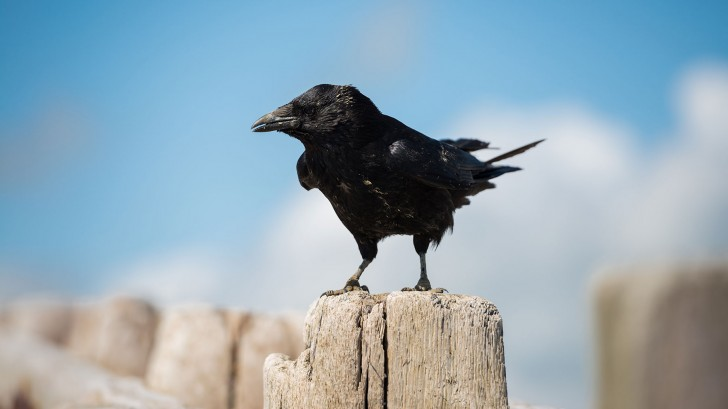 "Crows are thought to exhibit a ""danger response"" to dead crows © Tim Grist Photography/Getty"