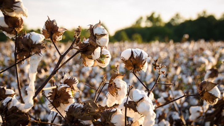 Cotton has become one of the most unsustainable crops on the planet © Andrea Anderegg/EyeEm/Getty