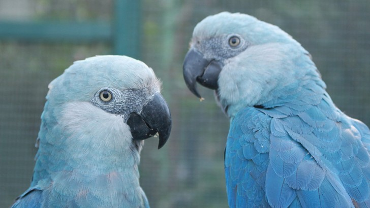 Spix's macaws are now extinct in the wild. © Camile Lugarini