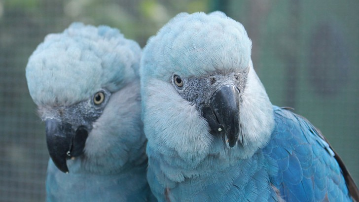 Spix's are small for a macaw, but have distinctive blue feathers, often fading to pale grey around the head. © Camile Lugarini