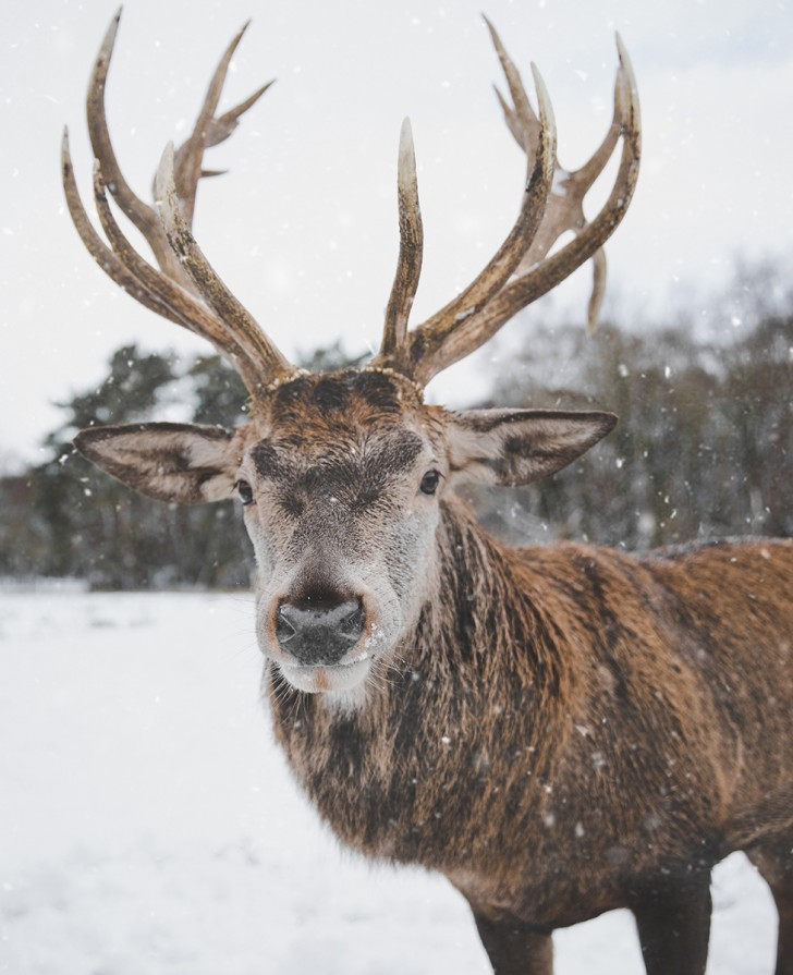 How reindeer evolved to be Santa's perfect helper | BBC Earth