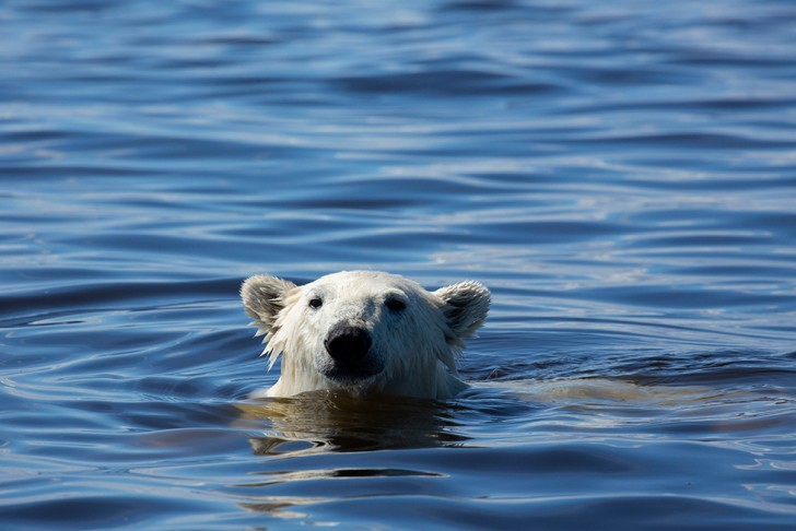 Polar bears are so reliant on the ocean that they are classed as marine mammales. © Chadden Hunter | © BBC NHU