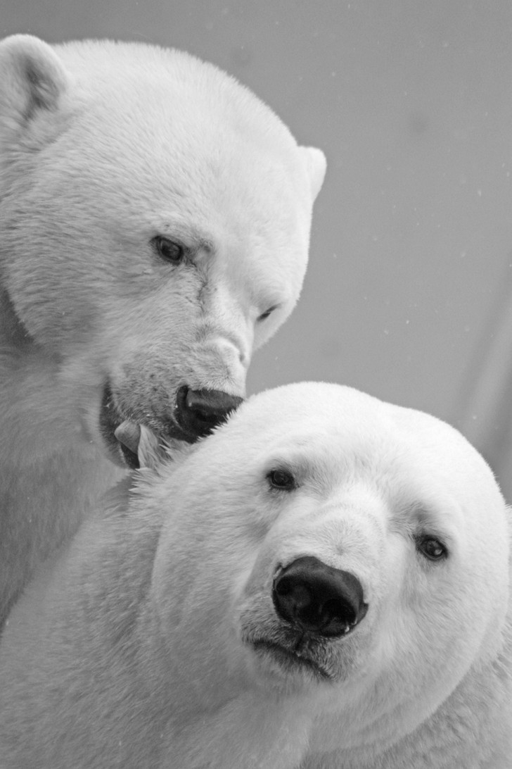 Play fighting is a way for polar bears to practise vital survival skills.