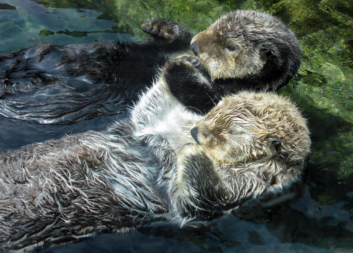 We've all seen the adorable pictures of sea otters holding paws while asleep to ensure they don't float away from each other. © Getty | Erin Donalson