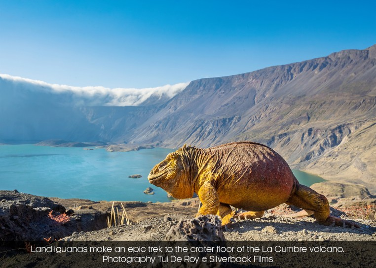 Land iguanas make an epic trek to the crater floor of the La Cumbre volcano. | Photography Tui De Roy © Silverback Films